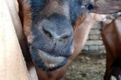 farma-belja-pancelov-kozji-sir-mleko-surutka-zdravo-domace-sveze-goat-farm-namaz-mojabaza-10