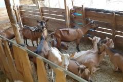 farma-belja-pancelov-kozji-sir-mleko-surutka-zdravo-domace-sveze-goat-farm-namaz-mojabaza-11