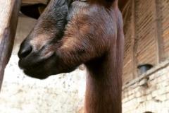 farma-belja-dolovo-kozji-sir-mleko-surutka-zdravo-domace-sveze-goat-farm-namaz-mojabaza-15